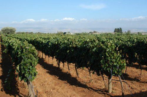 Vineyards at Feudo di Santa Tresa. ©Vias Imports