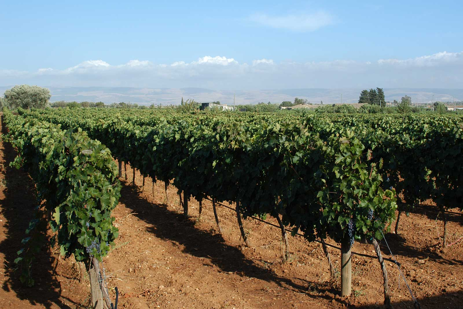 Vineyards at Feudo di Santa Tresa. ©Vias Imports
