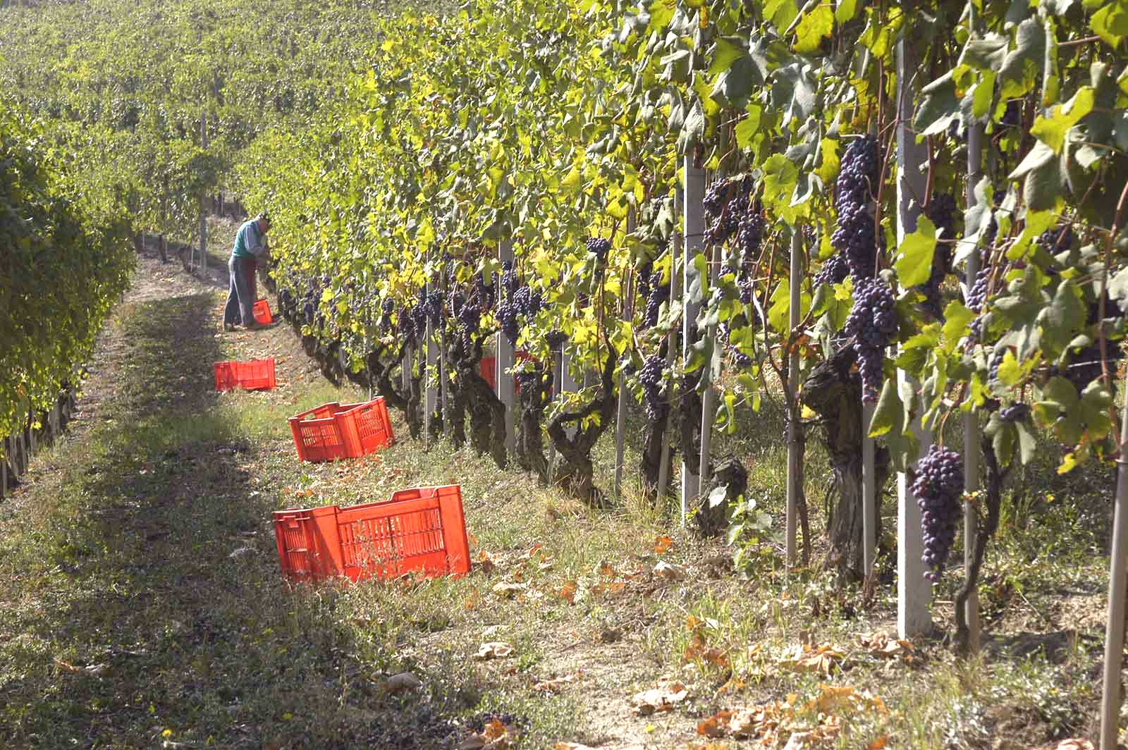 Harvest in the vines of Barbaresco. ©Produttori del Barbaresco