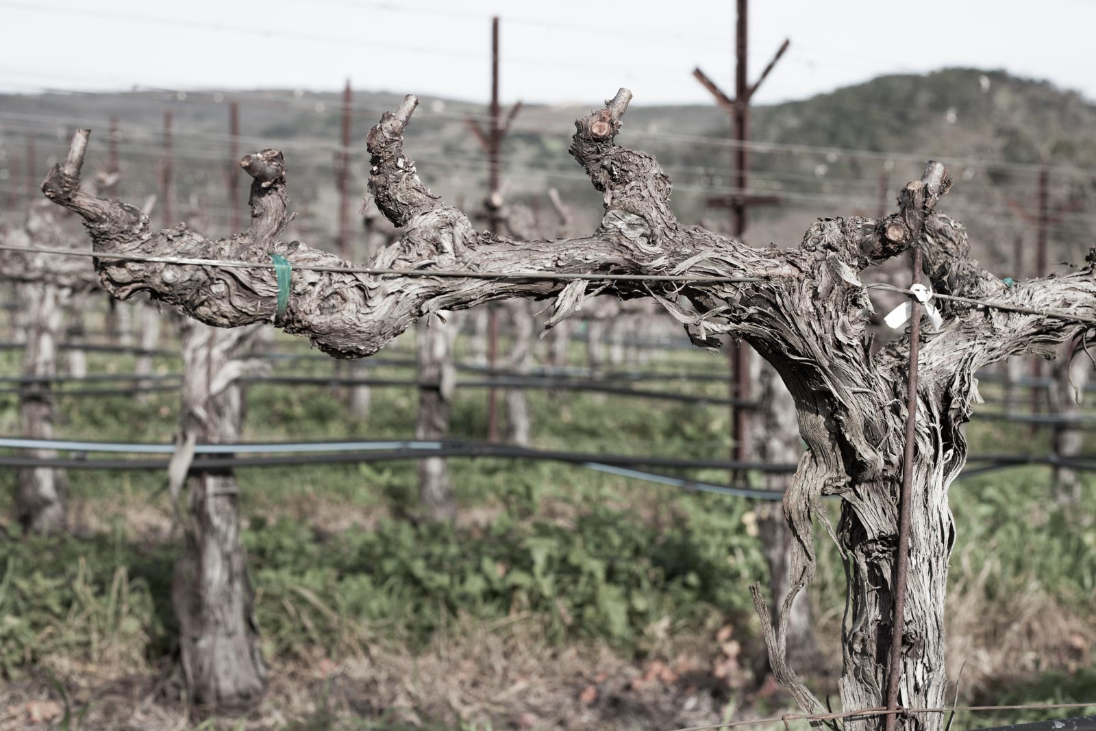 Dormant Cabernet Sauvignon vines in winter at the Family Home Vineyard, Gamble Family Estates, Napa, California. ©Kevin Day/Opening a Bottle