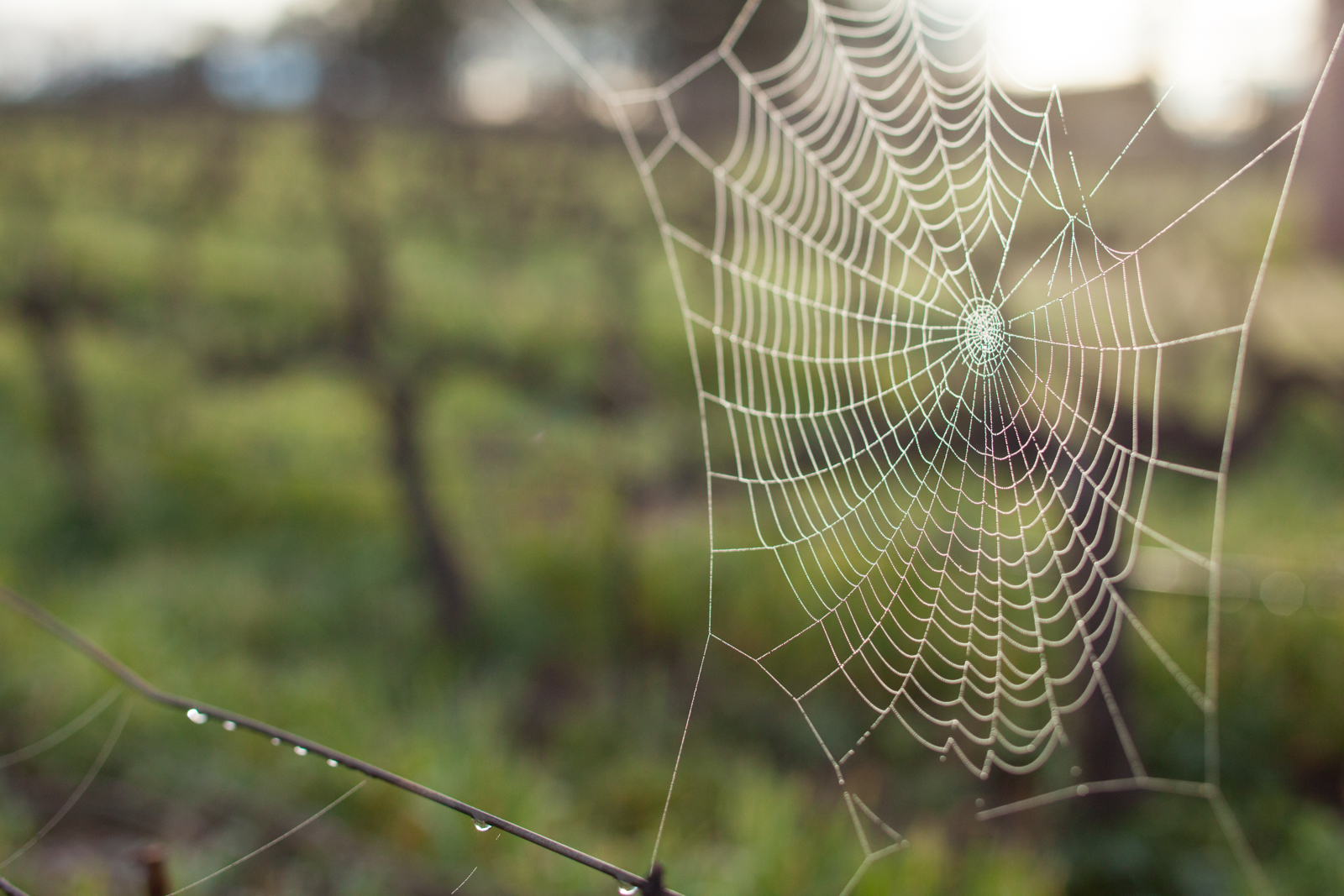 A spider web in a cabernet sauvignon vineyard in Napa Valley, California. ©Kevin Day/Opening a Bottle.