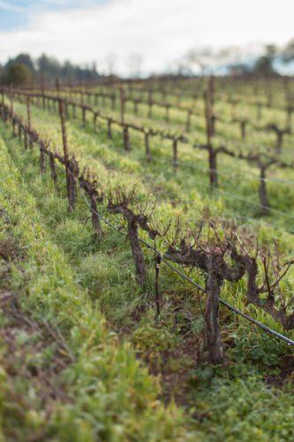Cabernet Sauvignon vineyards at Ehlers Estate, St. Helena (Napa), California