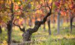 La Crena vineyard near Agliano (Asti), Italy ©Vietti WInery