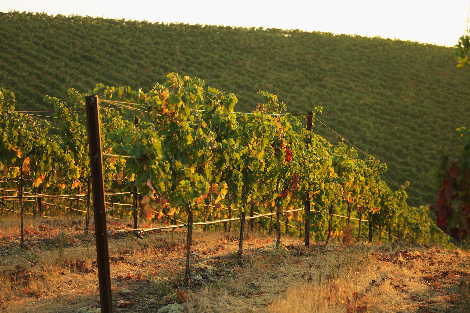 The estate vineyard at Murrieta's Well in Livermore, California. ©Murrieta's Well / All rights reserved