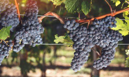 Ripe Cabernet Franc grapes on vine growing in a vineyard at sunset time. Selective focus, vintage toned image