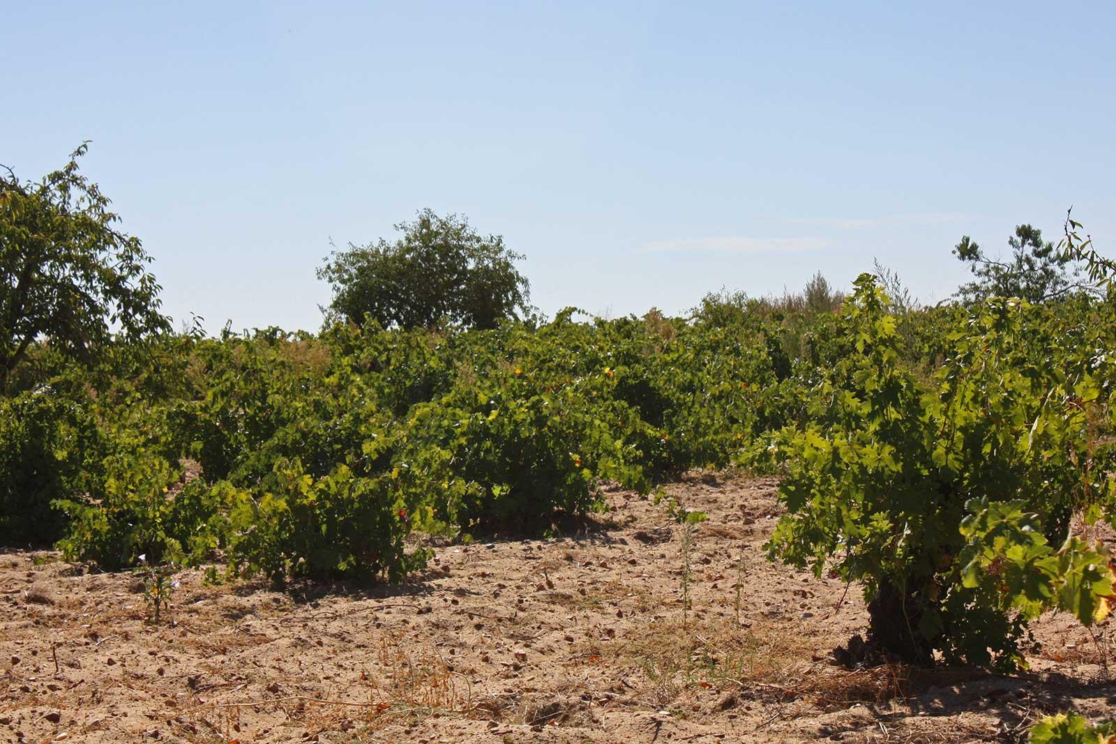 Vineyards of Toro. ©Vintae