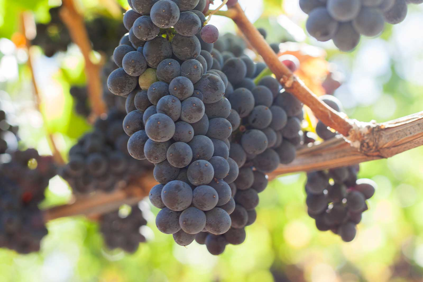Pinot Noir grape cluster. ©Kevin Day / Opening a Bottle