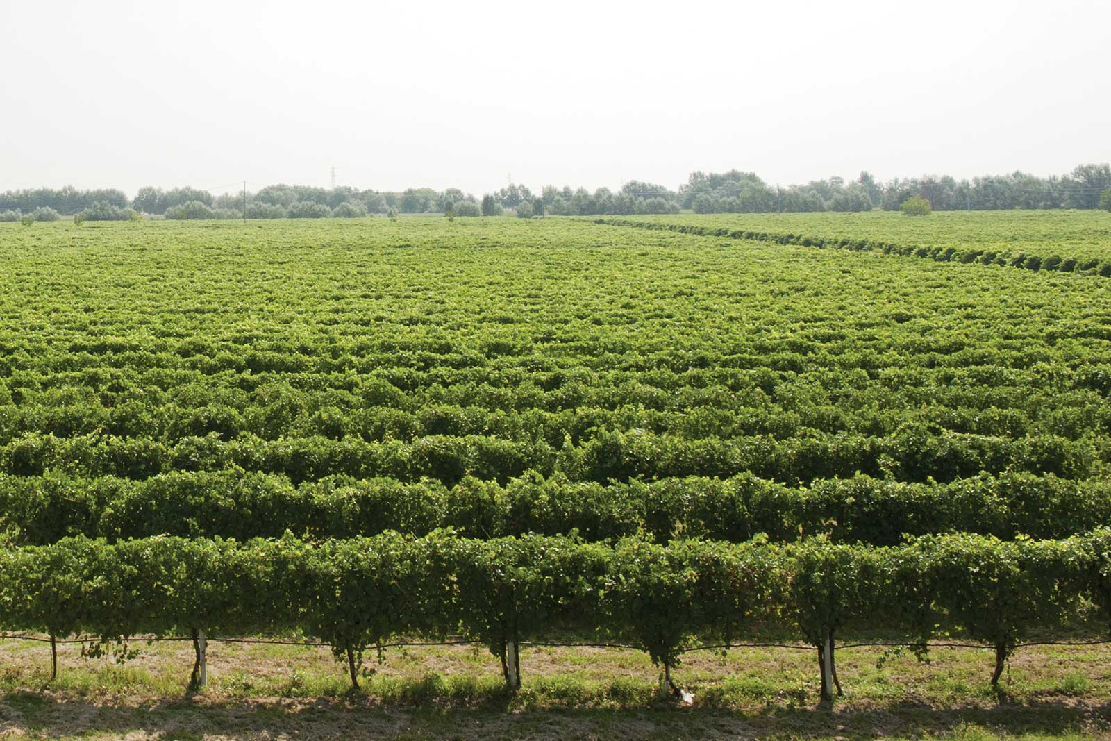 The Lambrusco vineyards of Emilia-Romagna stretch across mostly flat land in the Po River Basin. ©Medici Ermete