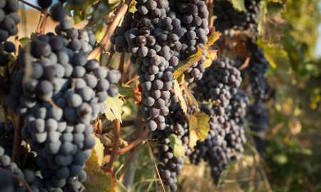Nebbiolo grapes ©Kevin Day/Opening a Bottle