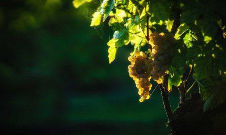 Turbiana grapes ©Consorzio Tutela Lugana DOC