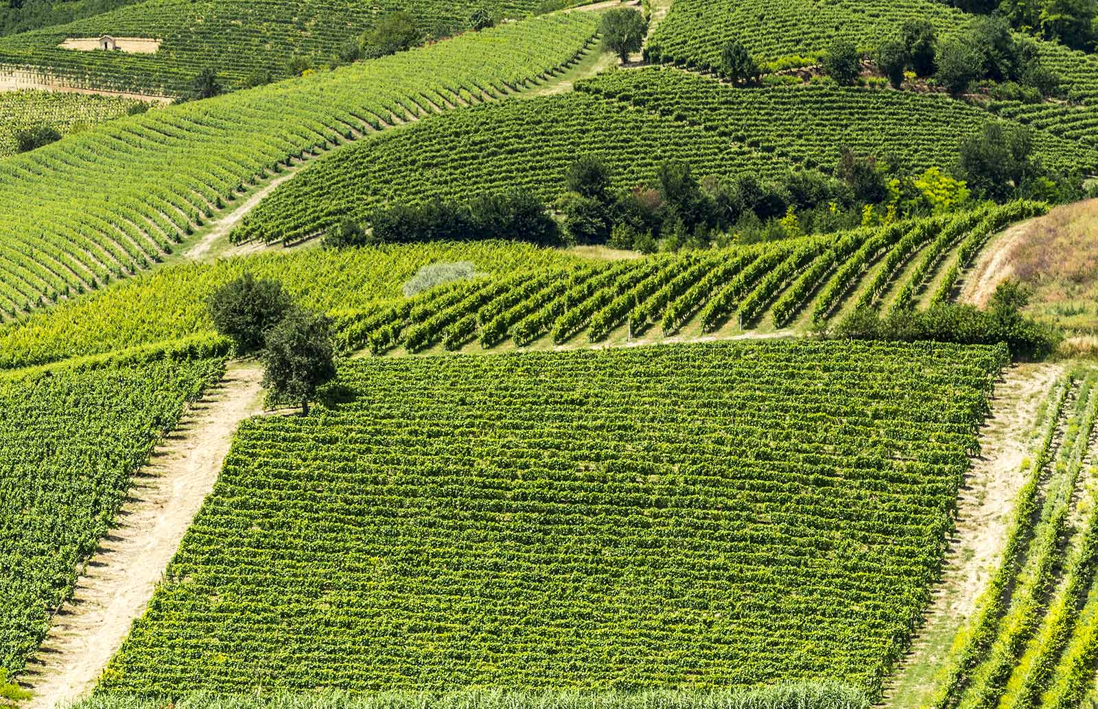 Vineyards in Monferrato.