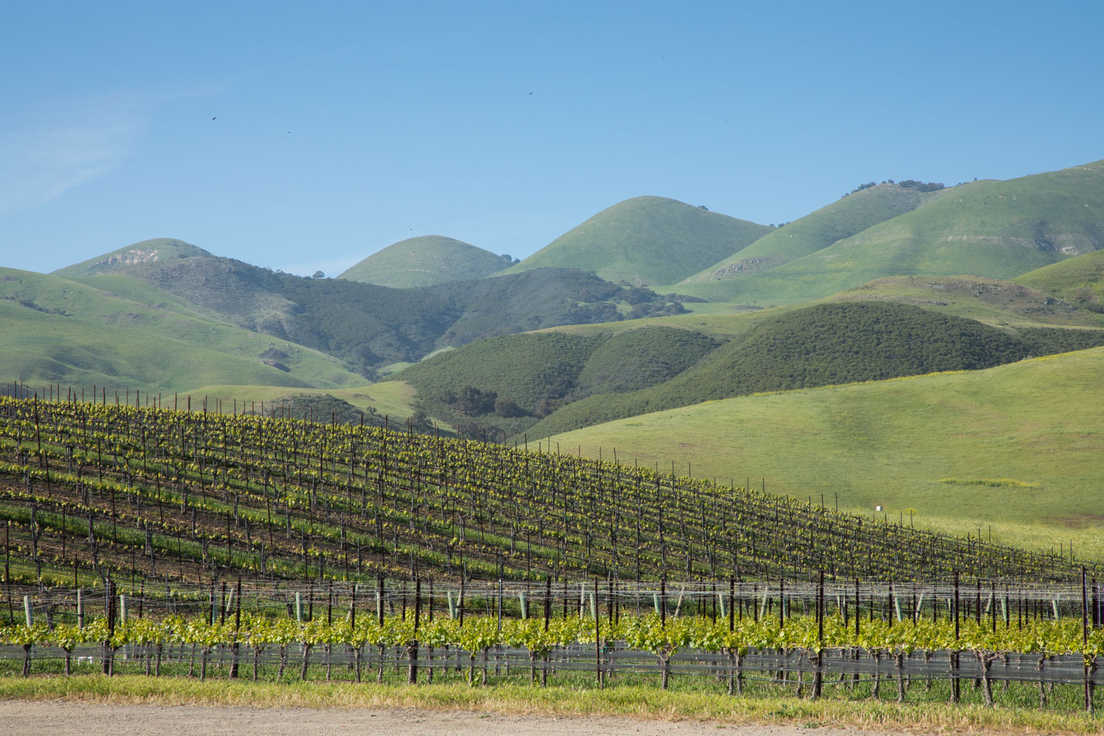 A vineyard in the Edna Valley, near San Luis Obispo, California. ©Kevin Day/Opening a Bottle