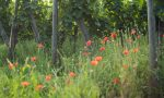 Poppies in the vineyard of the Grand Cru Hengst in Alsace, France. ©Kevin Day/Opening a Bottle