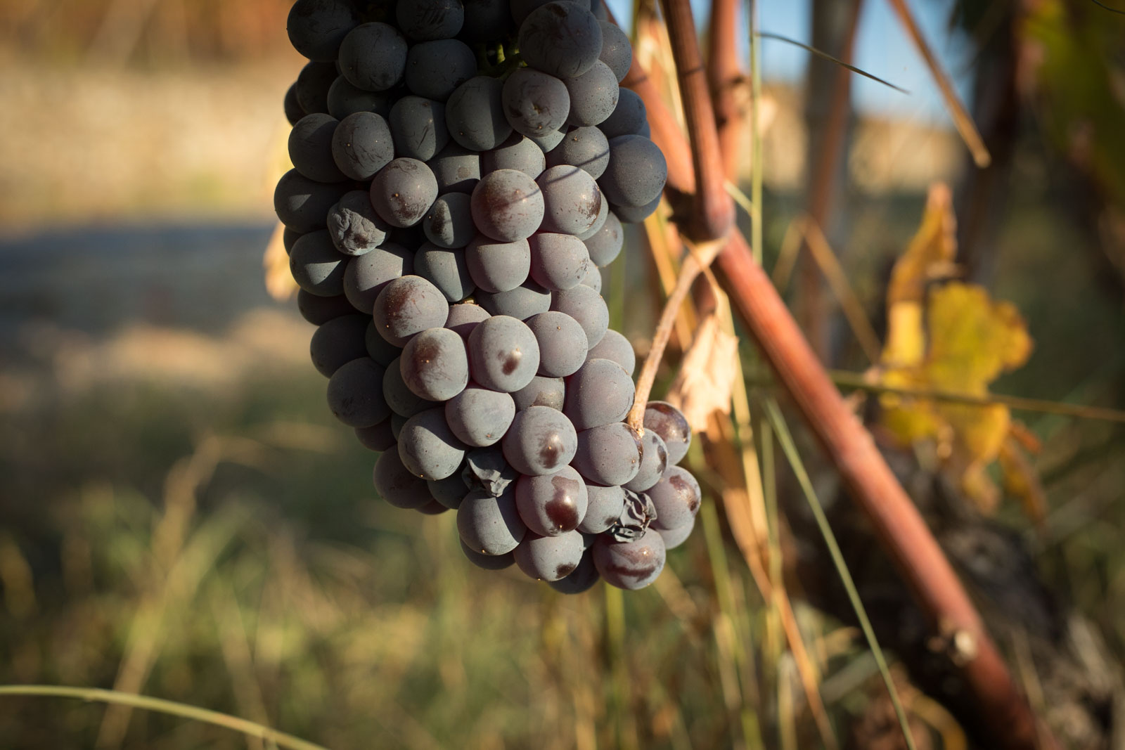 Nebbiolo grape cluster ©Kevin Day/Opening a Bottle