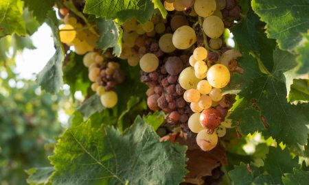 Grillo wines affected by the onset of botrytis (noble rote) ©Kevin Day/Opening a Bottle