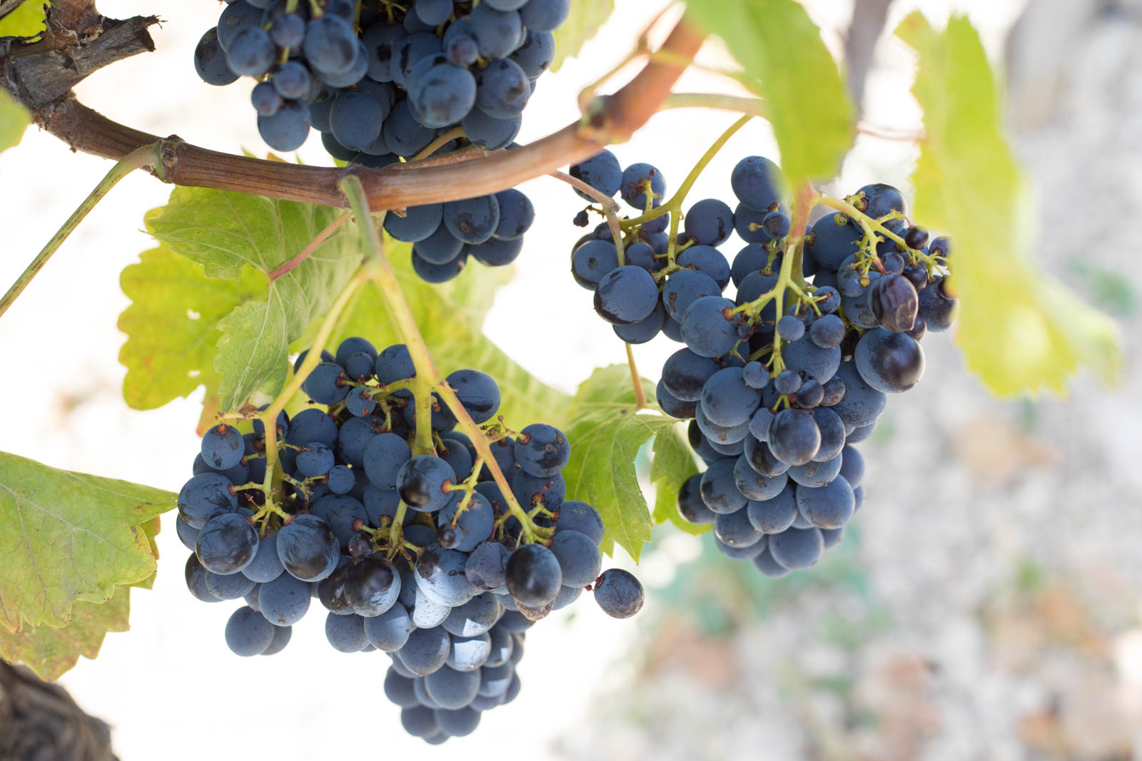 Nero d'Avola grapes growing in the vineyard of a co-op member. ©Kevin Day/Opening a Bottle