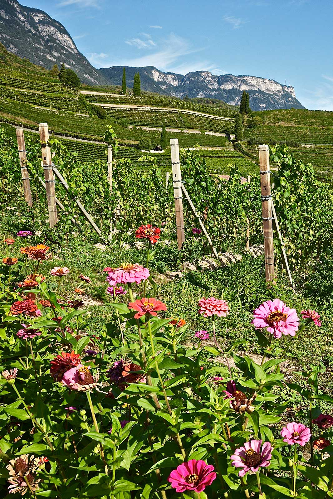 One of the dramatic Alto Adige vineyards that Alois Lageder tends to. ©Alois Lageder