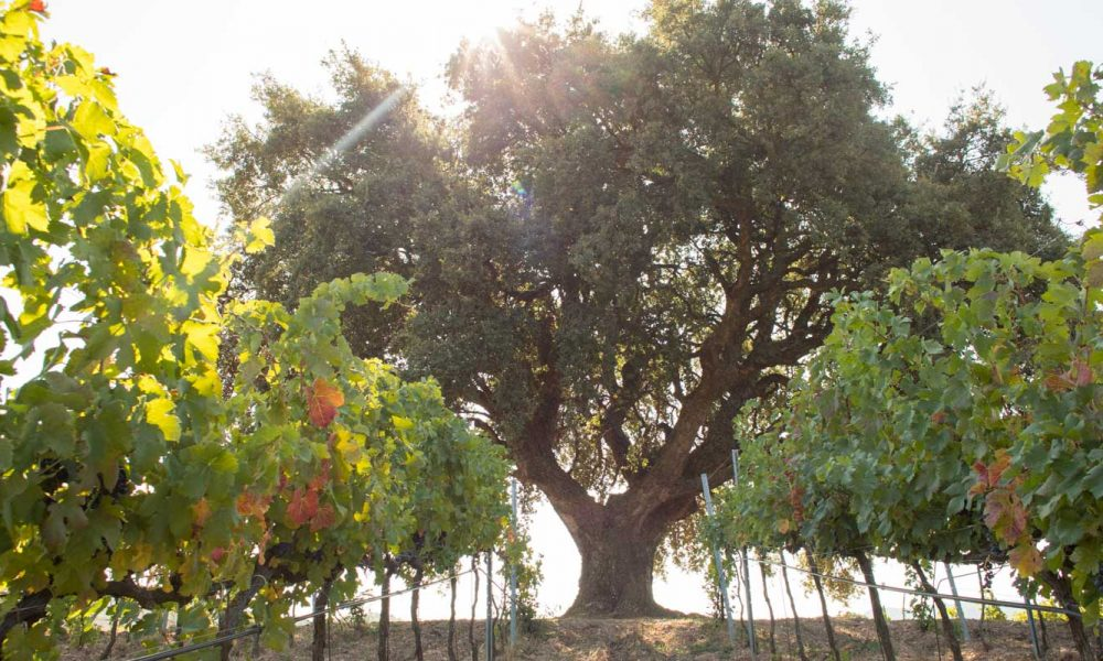 An oak tree at Baglio di Pianetto, near Palermo, Sicily. ©Kevin Day/Opening a Bottle