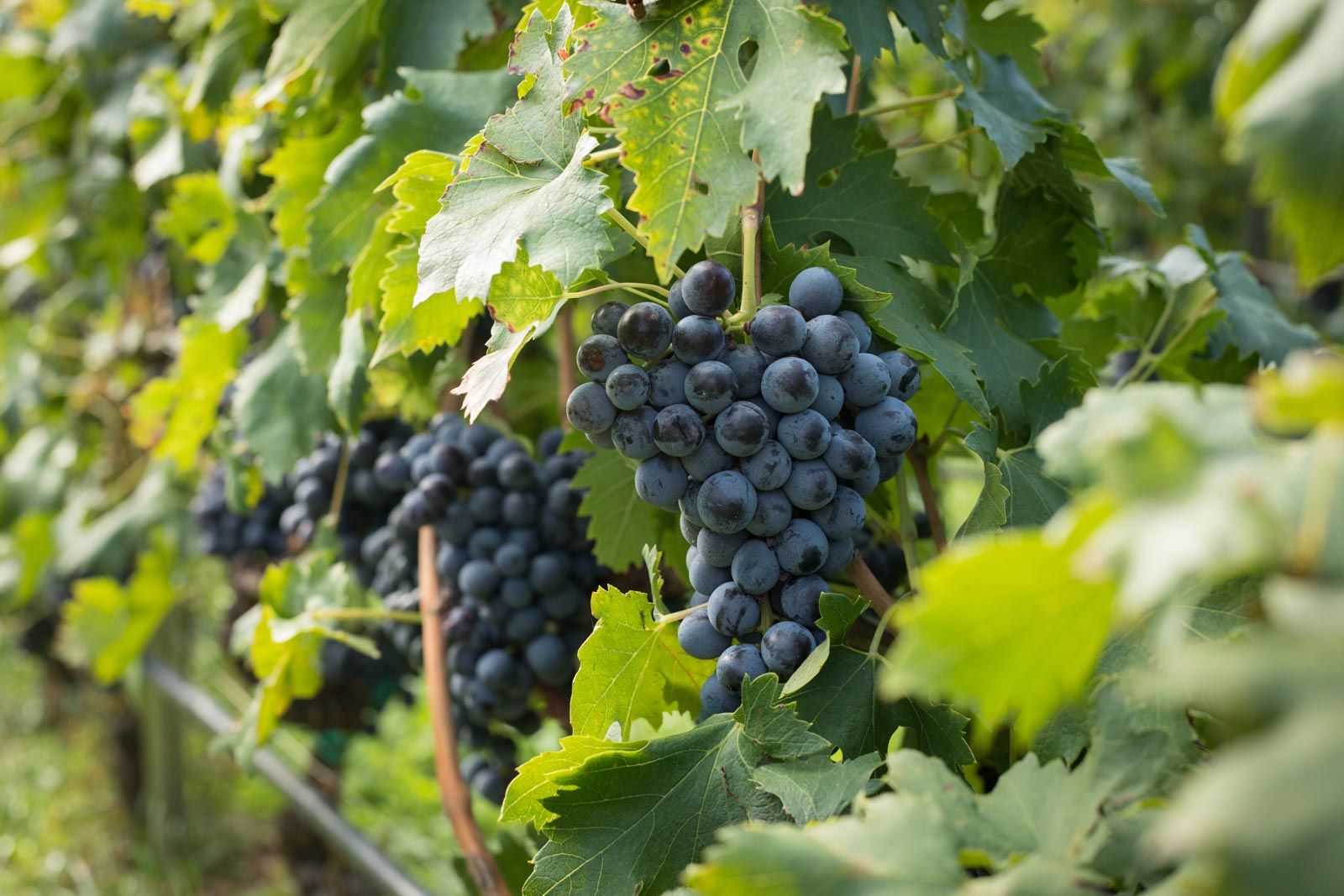 Clusters of Corvinone await the harvesters at Dal Forno Romano. ©Kevin Day/Opening a Bottle