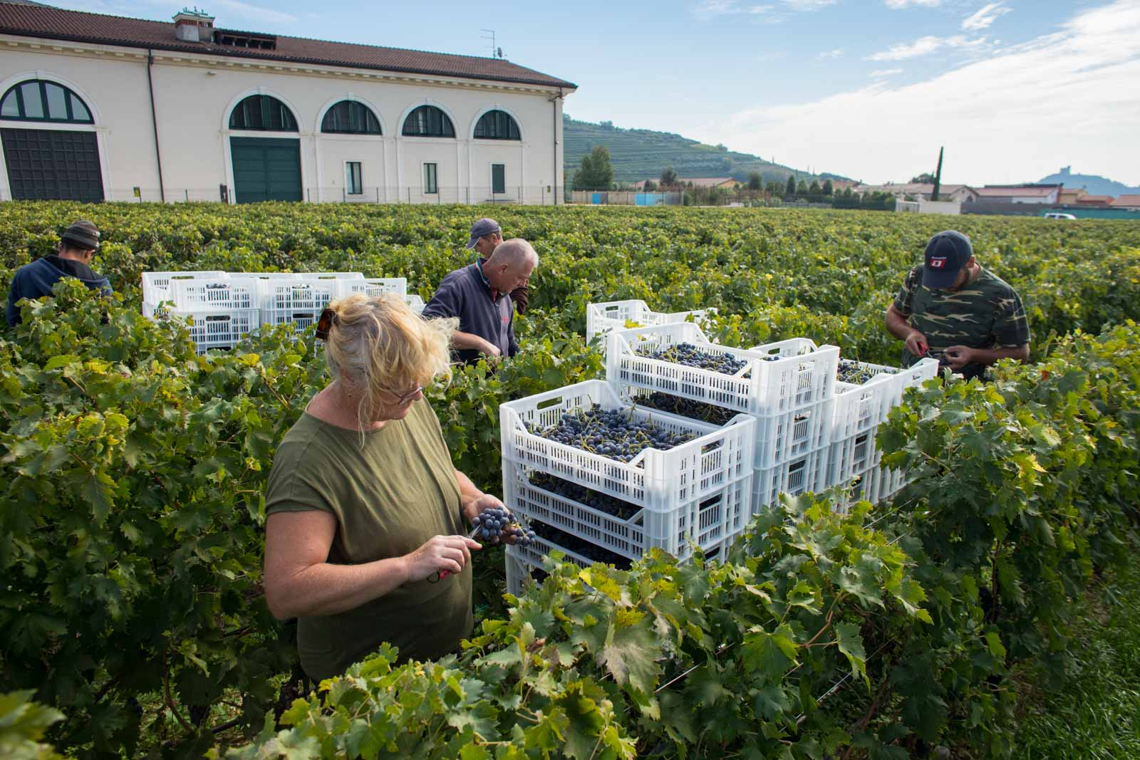 Harvesters work through the last of the year's vines. ©Kevin Day/Opening a Bottle