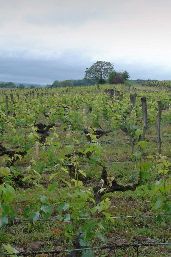 Charles Joguet's Monopole vineyard, Clos du Chêne Vert. ©Kermit Lynch Wine Merchant