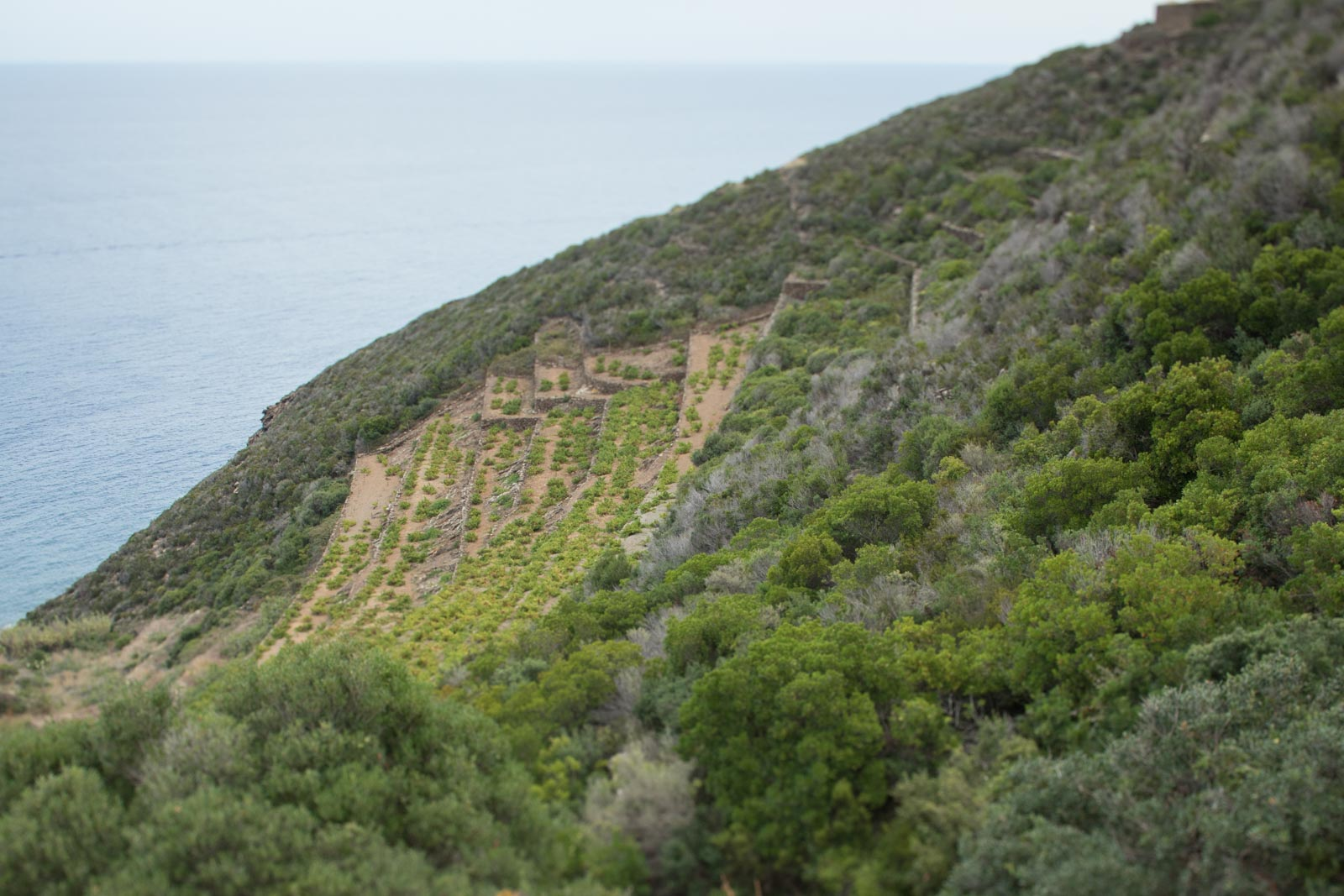 One of the seaside terraced vineyards on Pantelleria. ©Kevin Day/Opening a Bottle
