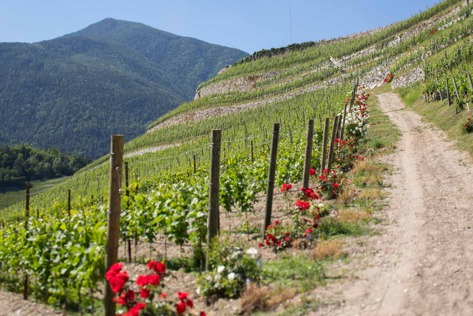 The spectacularly steep vineyard of Abbazia di Novacella. ©Kevin Day/Opening a Bottle