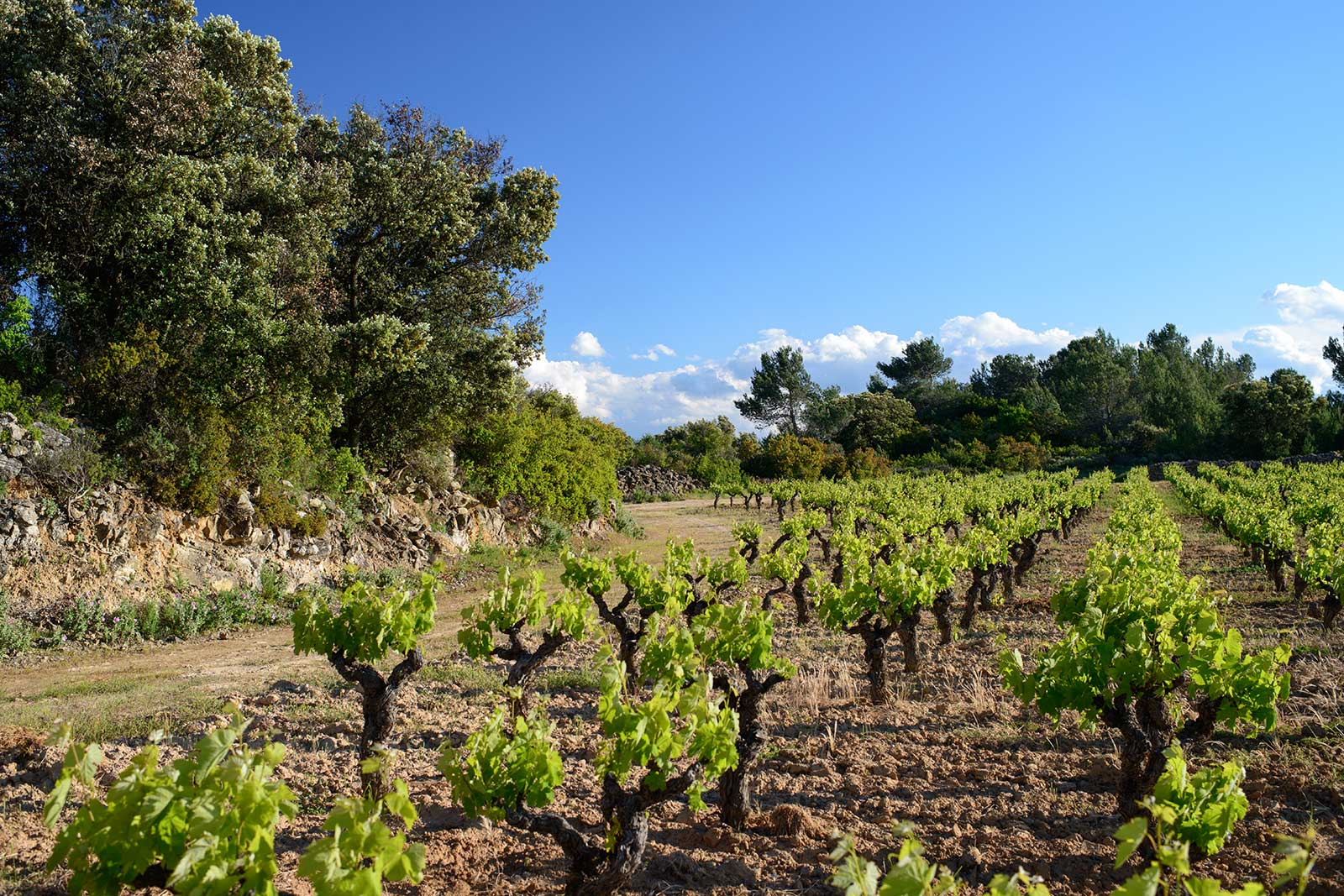 Bush-trained vines in Minervois have numerous advantages. Among them: lack of exposure to the wind. ©Domaine Anne Gros & Jean-Paul Tollot