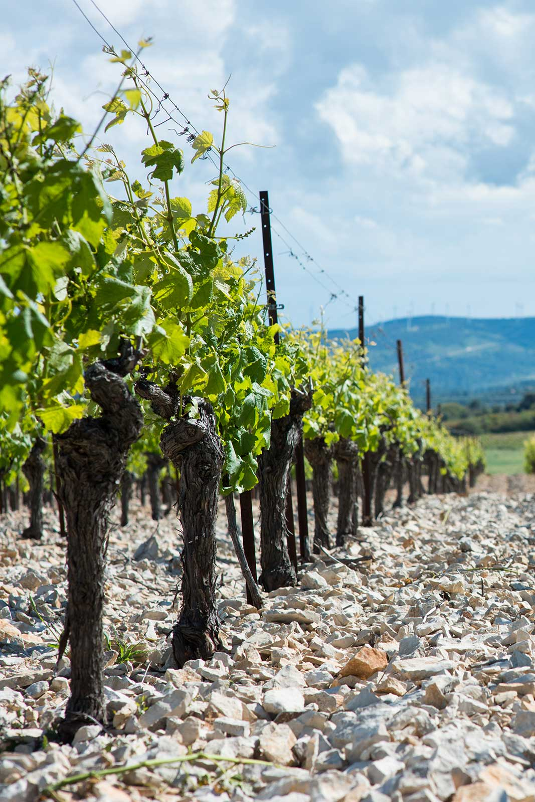 The old-vine vineyards of Domaine Anne Gros & Jean-Paul Tollot. ©Domaine Anne Gros & Jean-Paul Tollot