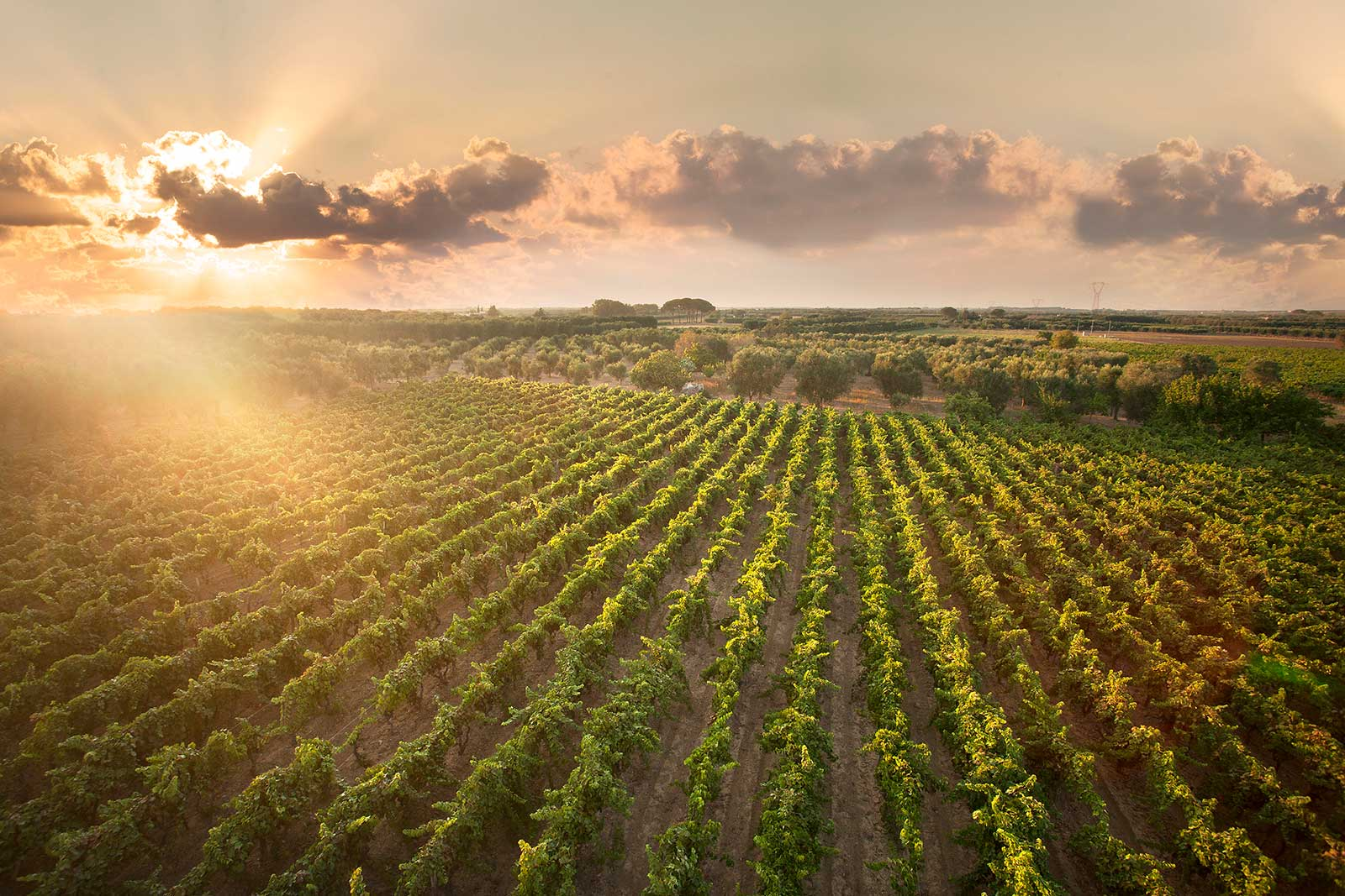 Cantele's vineyards in Puglia. ©Cantele