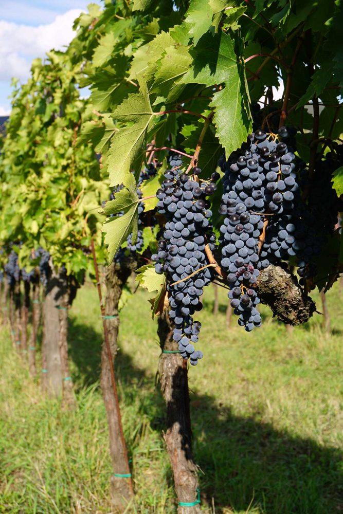 Sangiovese grapes at Villa Calcinaia ©Villa Calcinaia/Conti Capponi