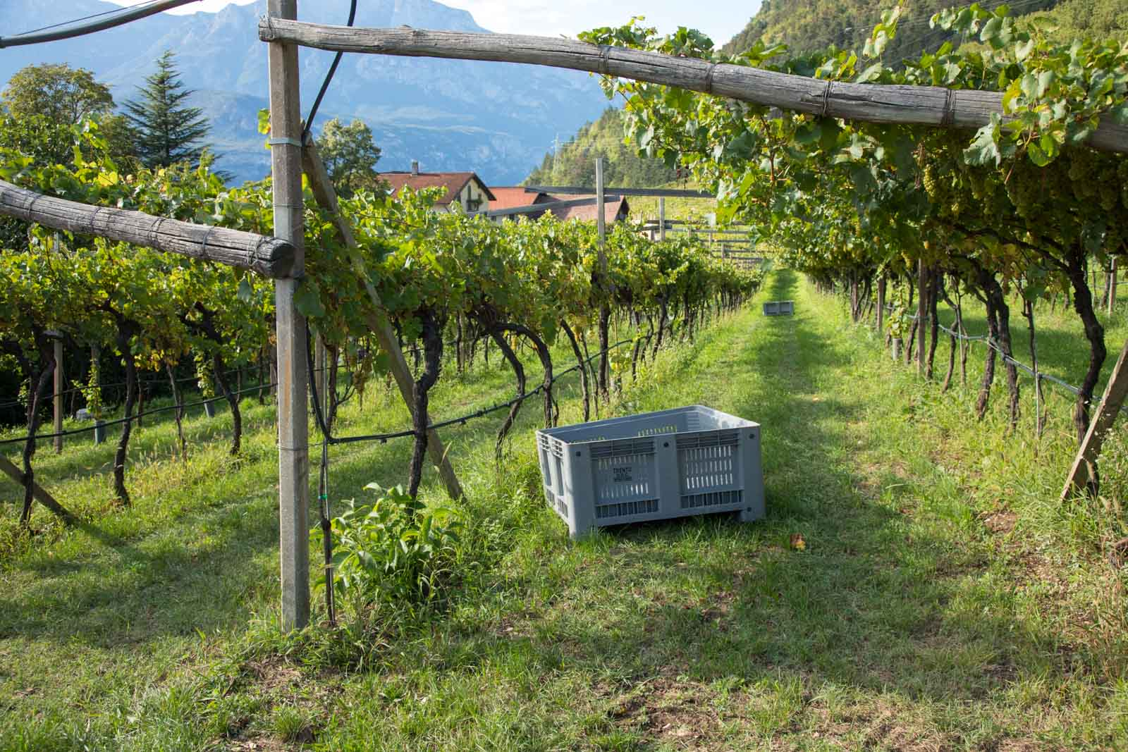 Getting ready for harvest at Maso Martis. ©Kevin Day/Opening a Bottle
