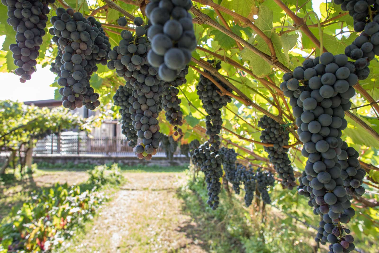 The pergola-trained Teroldego grapes at Foradori — a treasure trove of genetic material for planting other vineyards. ©Kevin Day/Opening a Bottle