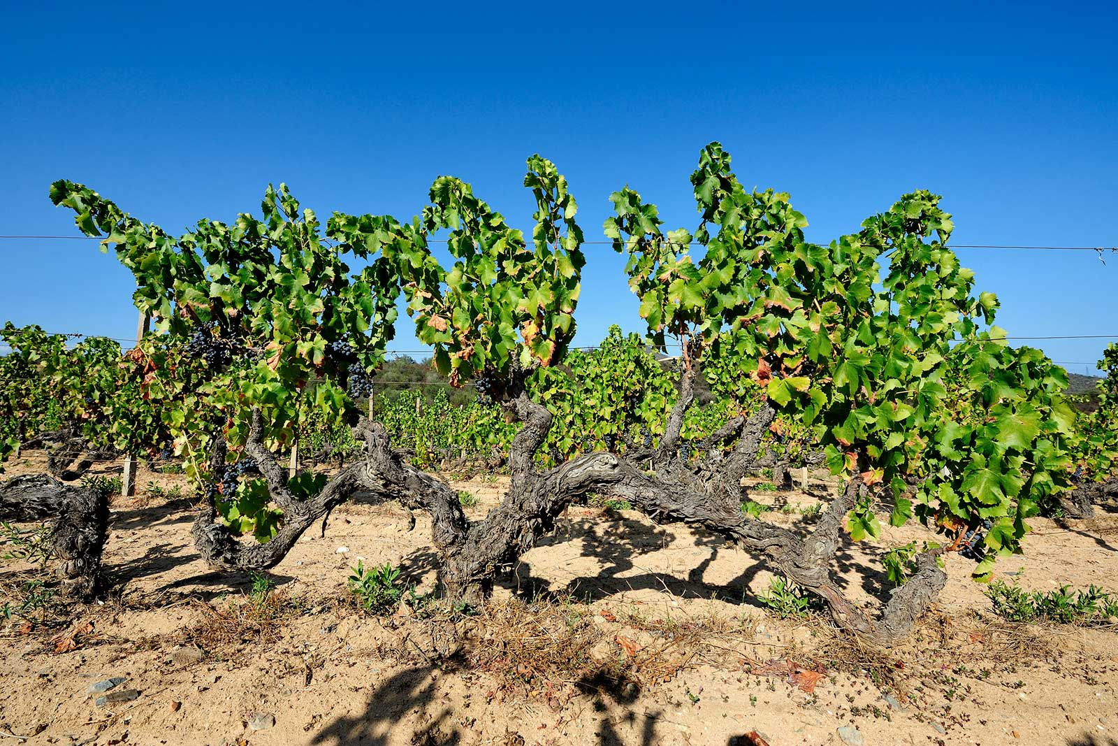 There are some old vines on Sardinia ... very old. ©Francesco Mou
