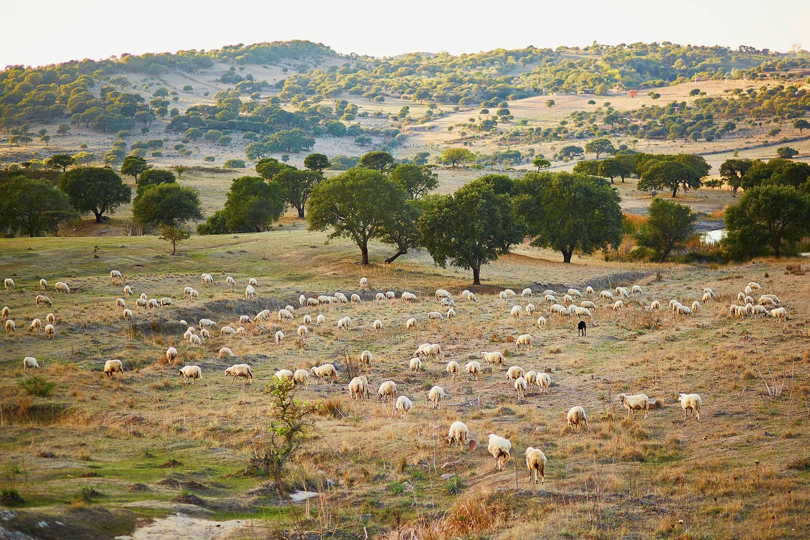 Sheep herding and animal husbandry remains a part of the fabric of life in Sardinia.