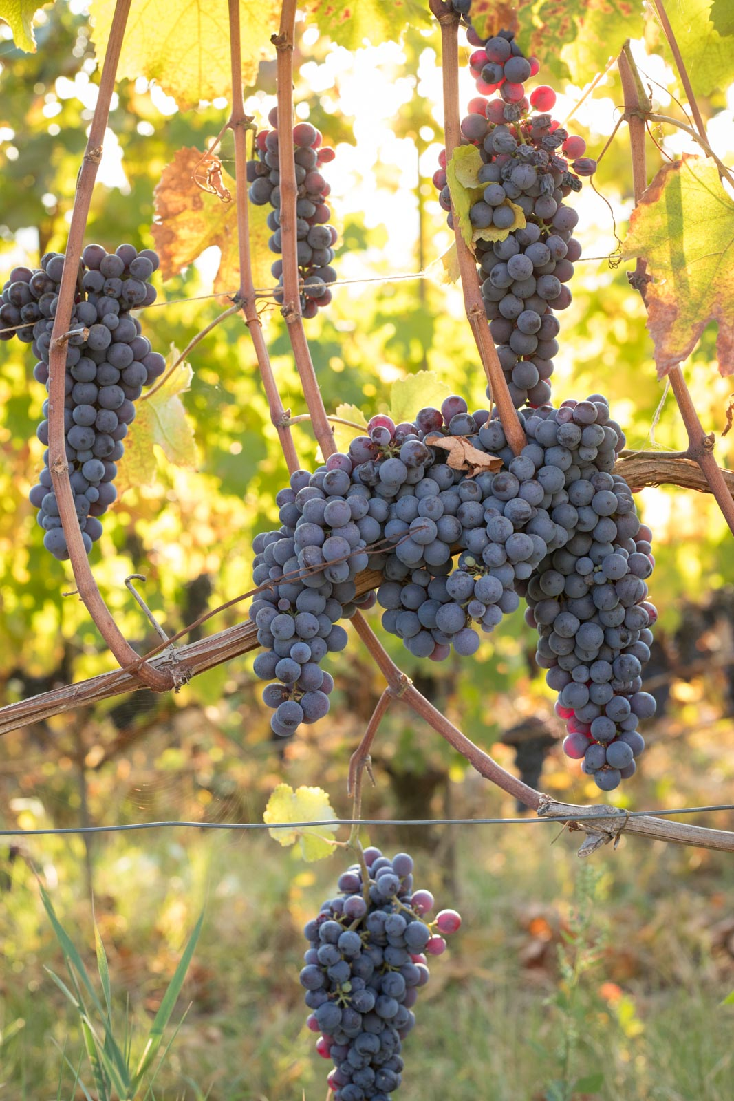 Nebbiolo grapes enjoy the last days before harvest near Barolo, Italy. ©Kevin Day/Opening a Bottle