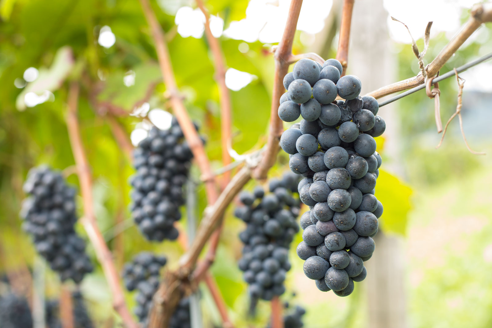 Debate all you want, but Pinot Noir is the most world's most beautiful grape cluster to photograph, and Alto Adige increasingly specializes in it. ©Kevin Day/Opening a Bottle