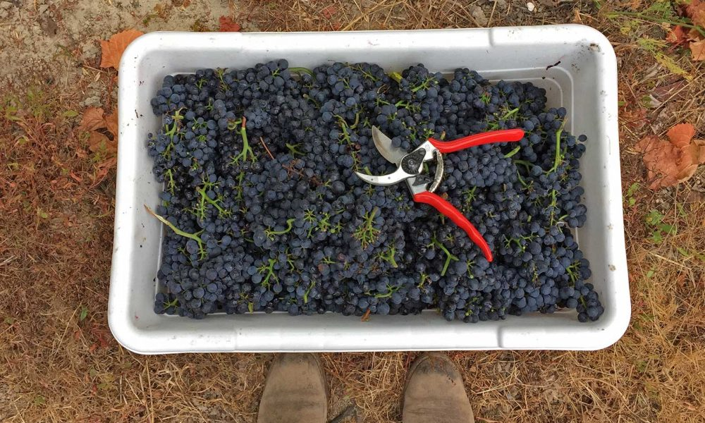 Reflections on the Goldilocks of Grapes: Pinot Noir ©Tracy Nielsen/La Pitchoune