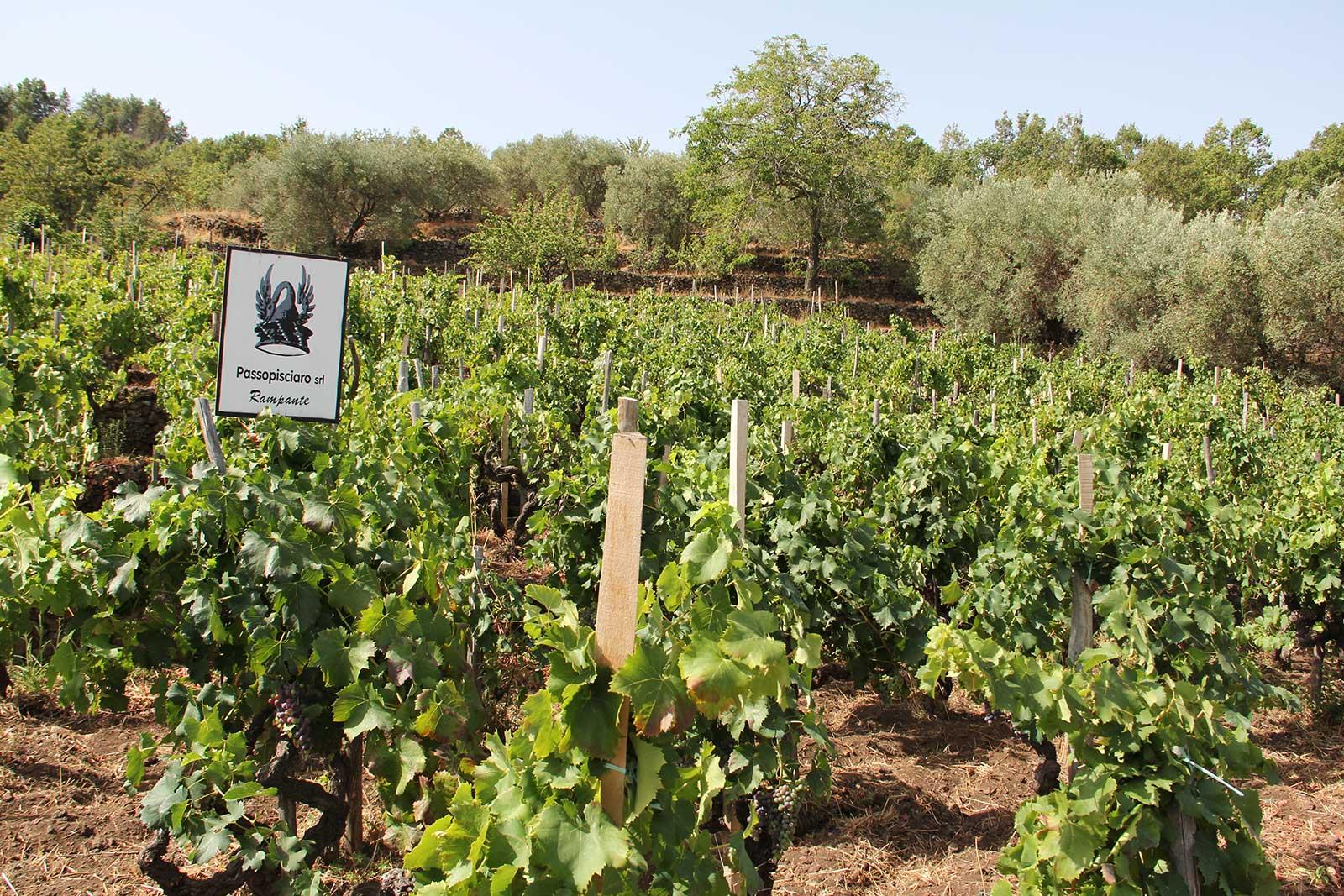 Passopisciaro's vineyard at Contrada Rampante on the upper slopes of Mount Etna. ©Passopisciaro