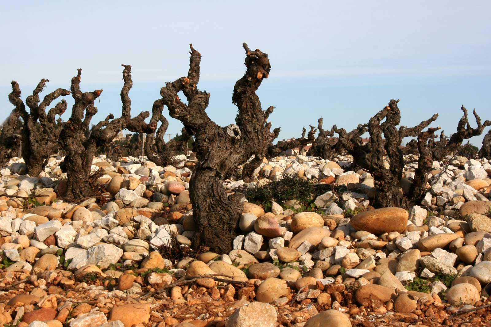 Old vines of Grenache in the gallets of the Châteauneuf-du-Pape AOC.