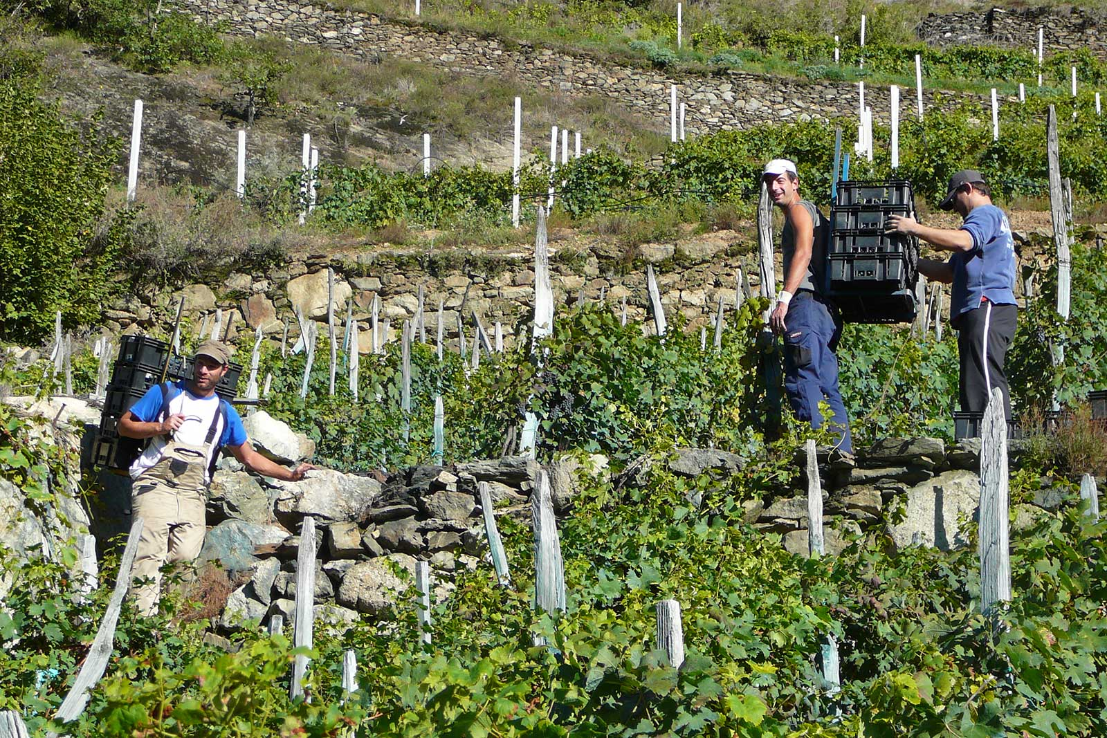 The team at Sandro Fay working the harvest in their terraced vineyards. ©Vini Sandro Fay