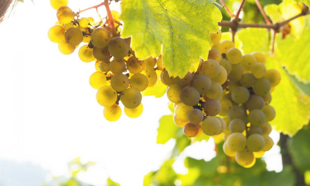 Ripe riesling grapes in Bernkastel-Keus, Mosel River, Germany. ©Kevin Day/Opening a Bottle