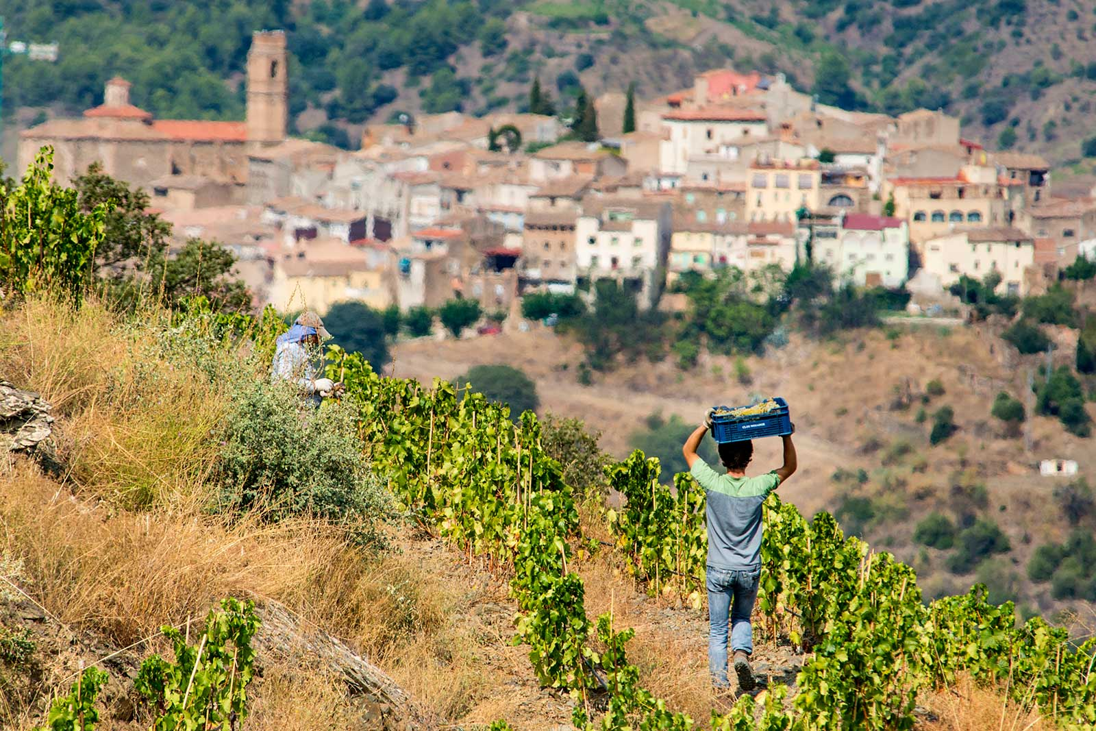 White wine grapes are harvested with the Priorat town of Gratallops in the distance. ©Clos Mogador