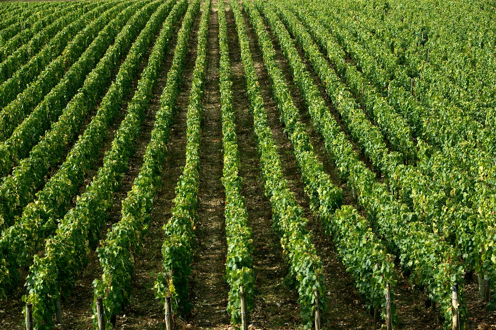 Truth be told, Chorey-les-Beaune's vineyards are as visual indistinct as anywhere, but the wines are nonetheless detailed and charming. ©Maison Joseph Drouhin.
