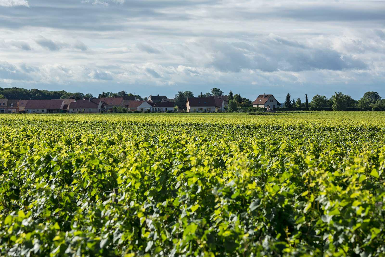 A view over the vineyards of Chorey-les-Beaune AOC. ©BIVB (Bureau des Interprofessionnel Vins de Bourgogne) / Aurélien Ibanez