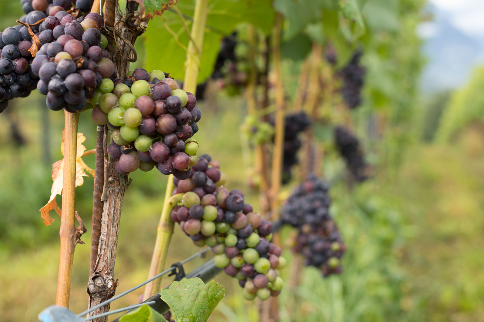 Pinot Noir grapes near veraison in Alto Adige, Italy. ©Kevin Day/Opening a Bottle