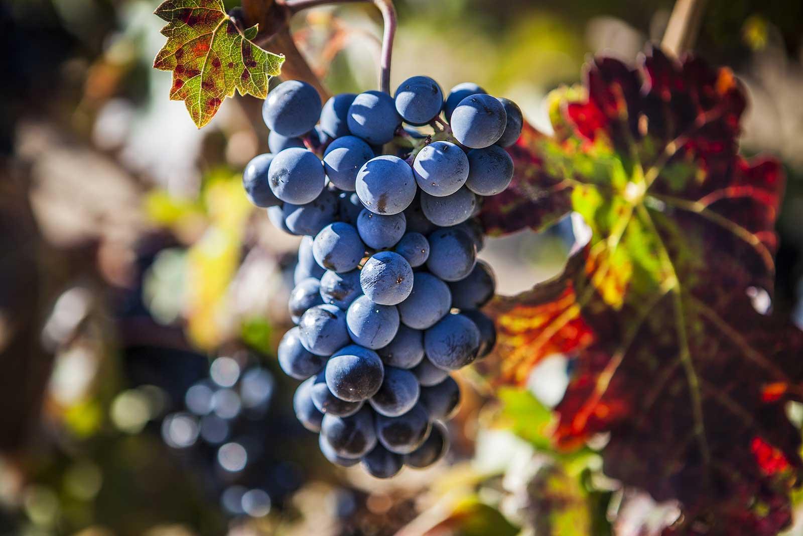 Tempranillo grape, Tinto Fino of Ribera del Duero, Opening a Bottle Wine Magazine