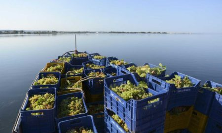 Bringing the grapes in from Mozia Island, Sicily. ©Tasca d'Almerita