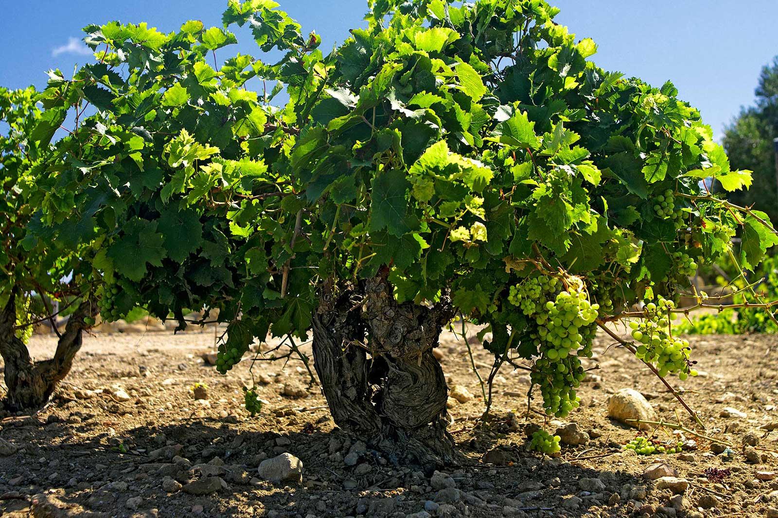 One of the old Grillo vines in the Mozia vineyard. ©Tasca d'Almerita
