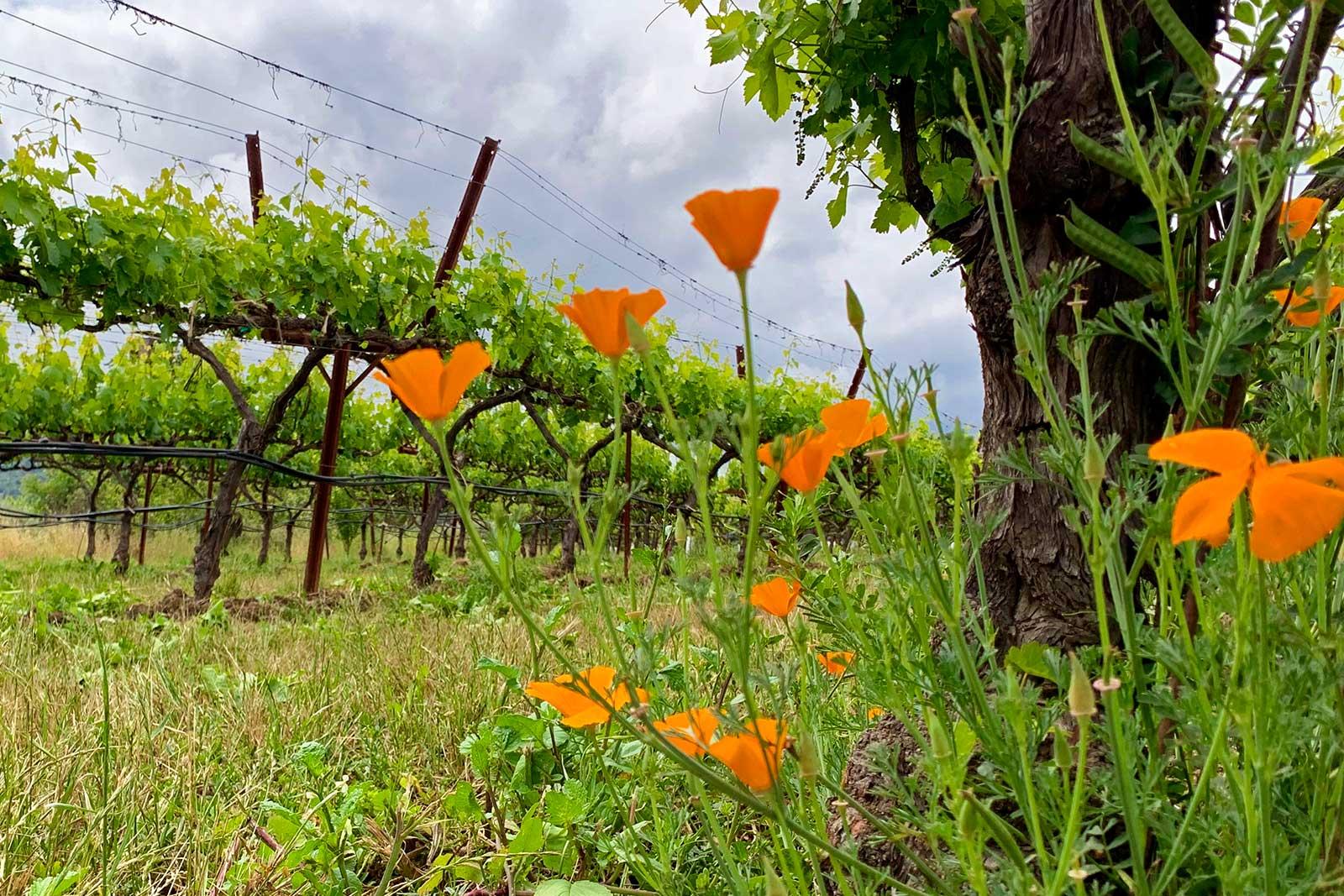 Poppies grow in springtime in one of the Matthiasson vineyards. ©Matthiasson